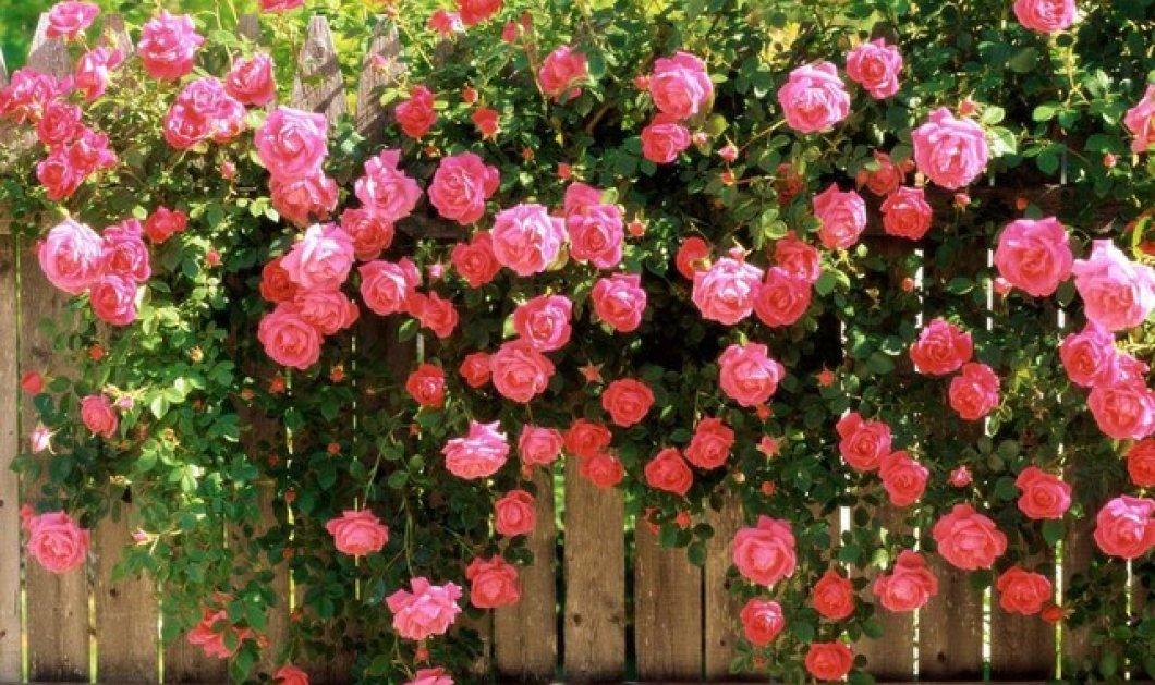 Τι φυτεύουμε φίλοι μου τον Μάρτιο; Στον λαχανόκηπο και στα οπωροφόρα μας; Προλαβαίνουμε και τριανταφυλιές - Κυρίως Φωτογραφία - Gallery - Video