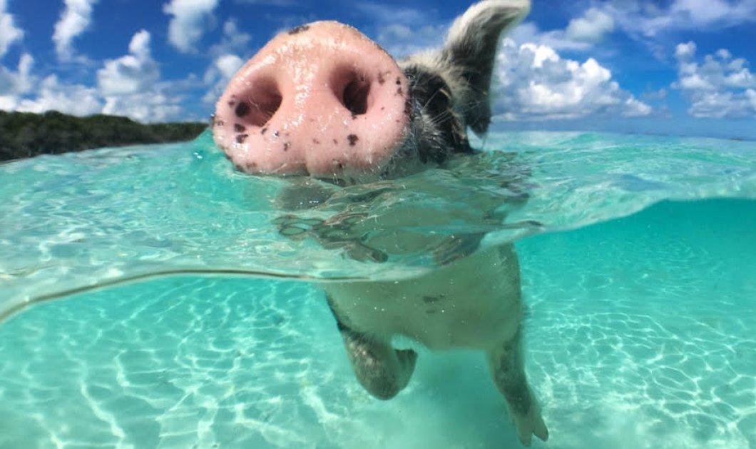 Πέθαναν τα διάσημα γουρούνια στις Μπαχάμες : Τουρίστας τους έδωσε αλκοόλ! - Κυρίως Φωτογραφία - Gallery - Video