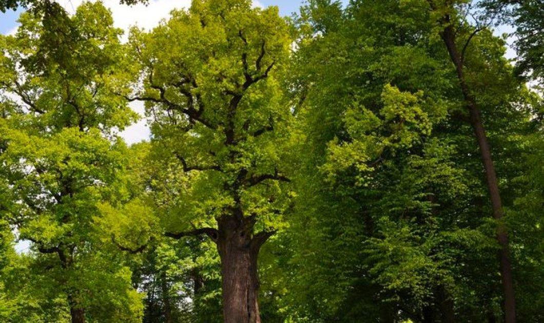 """Αυτή η δρυς 650 ετών είναι το """"Ευρωπαϊκό Δέντρο της Χρονιάς"""": Πανύψηλη και μεγαλοπρεπής  - Κυρίως Φωτογραφία - Gallery - Video"""
