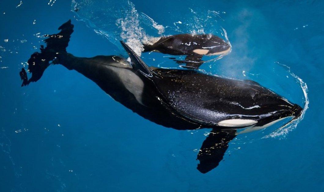 Βίντεο: Η στιγμή της γέννησης μιας όρκας σε πάρκο θαλάσσιων θηλαστικών & η συγκίνηση των φροντιστών της - Κυρίως Φωτογραφία - Gallery - Video