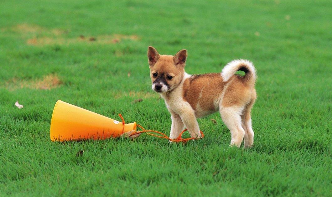 Ο πιο φοβητσιάρης & αστείος σκυλάκος: Γαβγίζει σε σακούλα που την σέρνει ο άνεμος  - Κυρίως Φωτογραφία - Gallery - Video