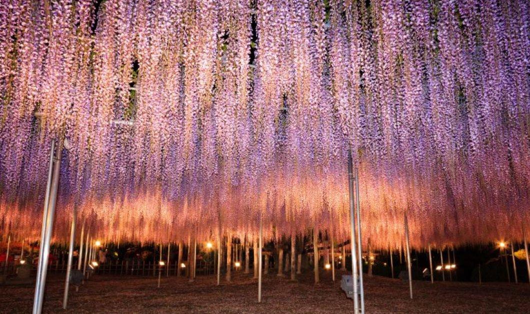 Ashikaga Flower Park: Ο πιο μαγικός προορισμός με λουλούδια, πασχαλιές και ανθισμένους κήπους - Κυρίως Φωτογραφία - Gallery - Video