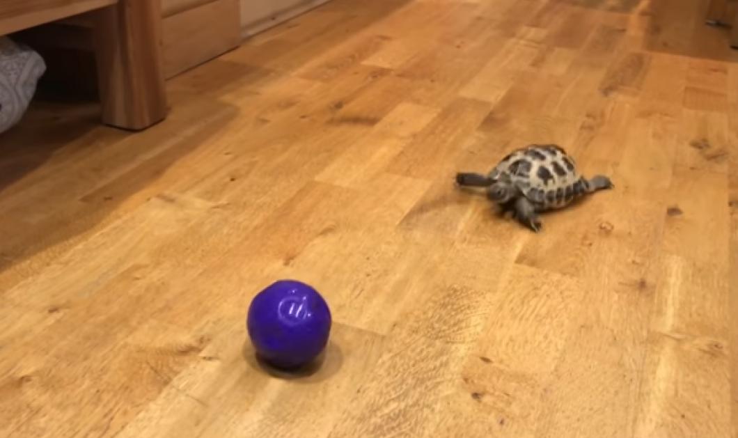 Βίντεο: Αυτή η χελώνα έγινε λαγός - Κυνηγάει το μπαλάκι με όση δύναμη έχουν τα κοντοπόδαρά της - Κυρίως Φωτογραφία - Gallery - Video