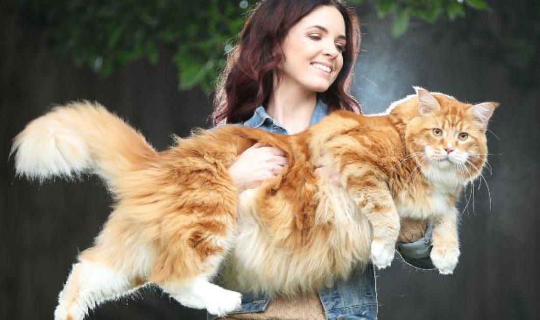 Αυτή είναι η μεγαλύτερη γάτα στον κόσμο: Ζυγίζει 14 κιλά και έχει μήκος 120 εκατοστά - Κυρίως Φωτογραφία - Gallery - Video