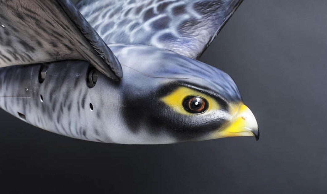 Ρομποτικό γεράκι στο αεροδρόμιο για να απομακρύνει τα πουλιά που προκαλούν ακόμη και πτώση αεροπλάνων - Κυρίως Φωτογραφία - Gallery - Video