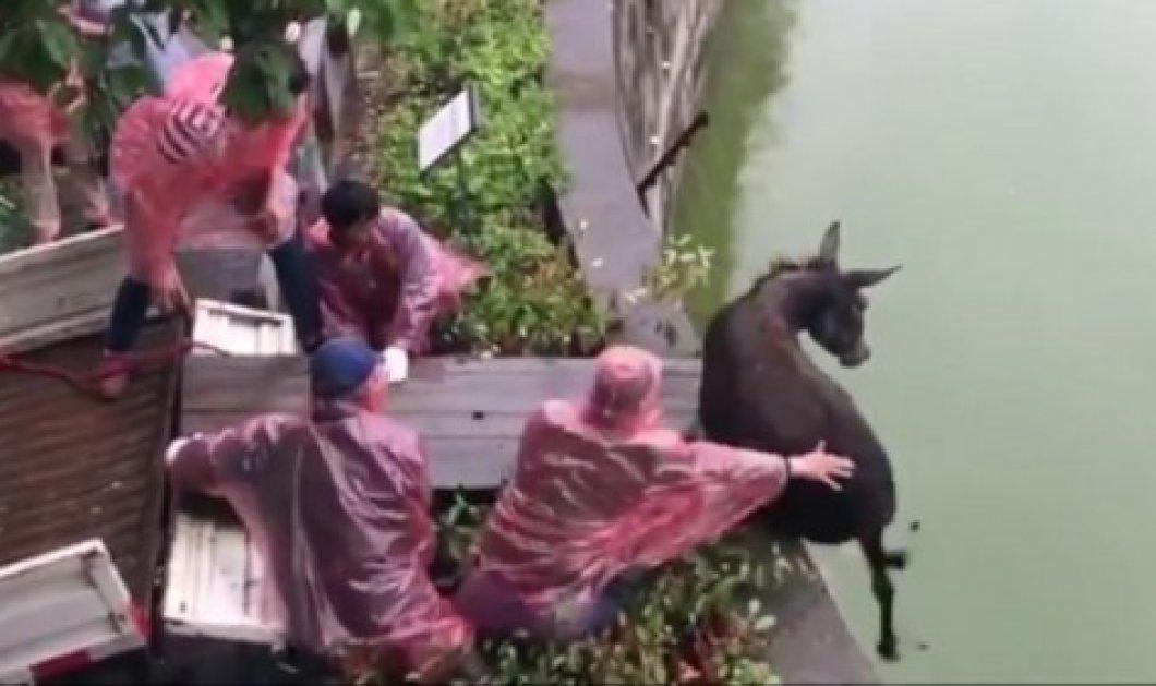 Σάλος στην Κίνα: Έριξαν ζωντανό γάιδαρο να τον φάνε οι τίγρεις σε ζωολογικό κήπο (Φωτό - Βίντεο) - Κυρίως Φωτογραφία - Gallery - Video