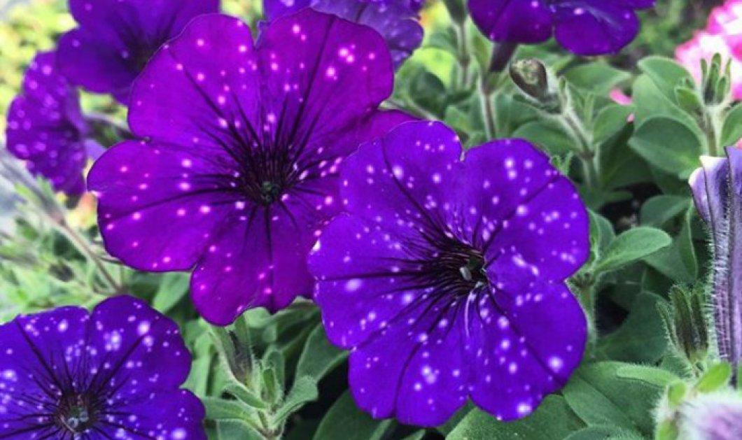 Αυτά τα λουλούδια έχουν πάνω τους αστέρια και είναι μοναδικά! (Φωτό) - Κυρίως Φωτογραφία - Gallery - Video