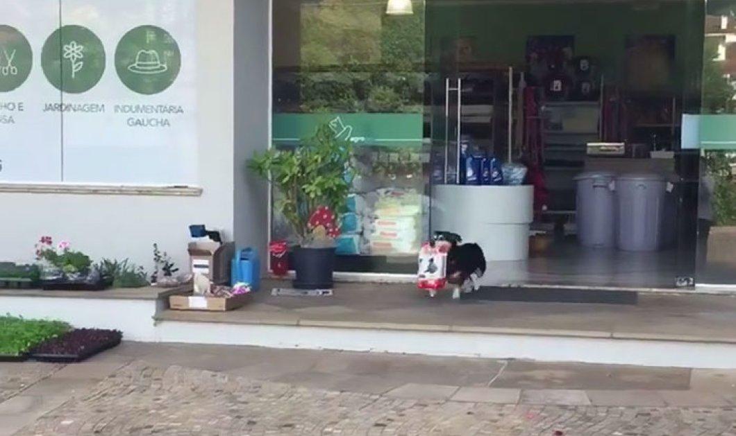 Κάθε μέρα ο Pitucco ένα βραζιλιάνικο σκυλάκι πάει για ψώνια & επιστρέφει με τις τσάντες γεμάτες τρόφιμα - Κυρίως Φωτογραφία - Gallery - Video