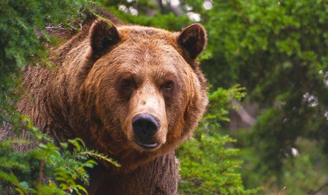 Σάλος με την καφετιά αρκούδα που σκότωσε 200 πρόβατα σε λίγα λεπτά - Πως τα οδήγησε στο γκρεμό  - Κυρίως Φωτογραφία - Gallery - Video