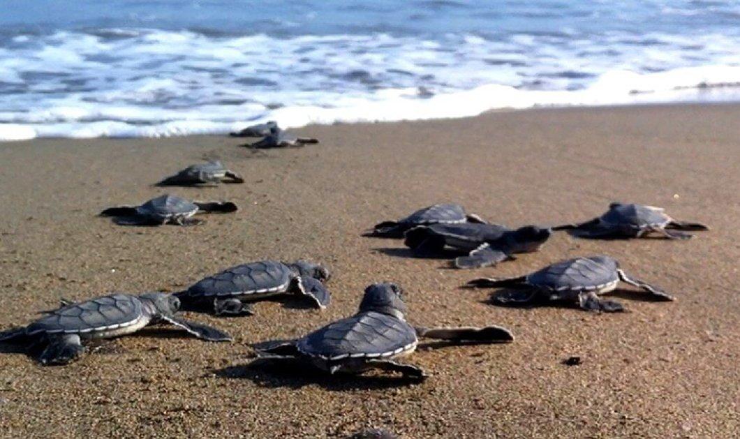 Good News: Τα πρώτα χελωνάκια έσκασαν μύτη στην παραλία της Ζακύνθου - Κυρίως Φωτογραφία - Gallery - Video