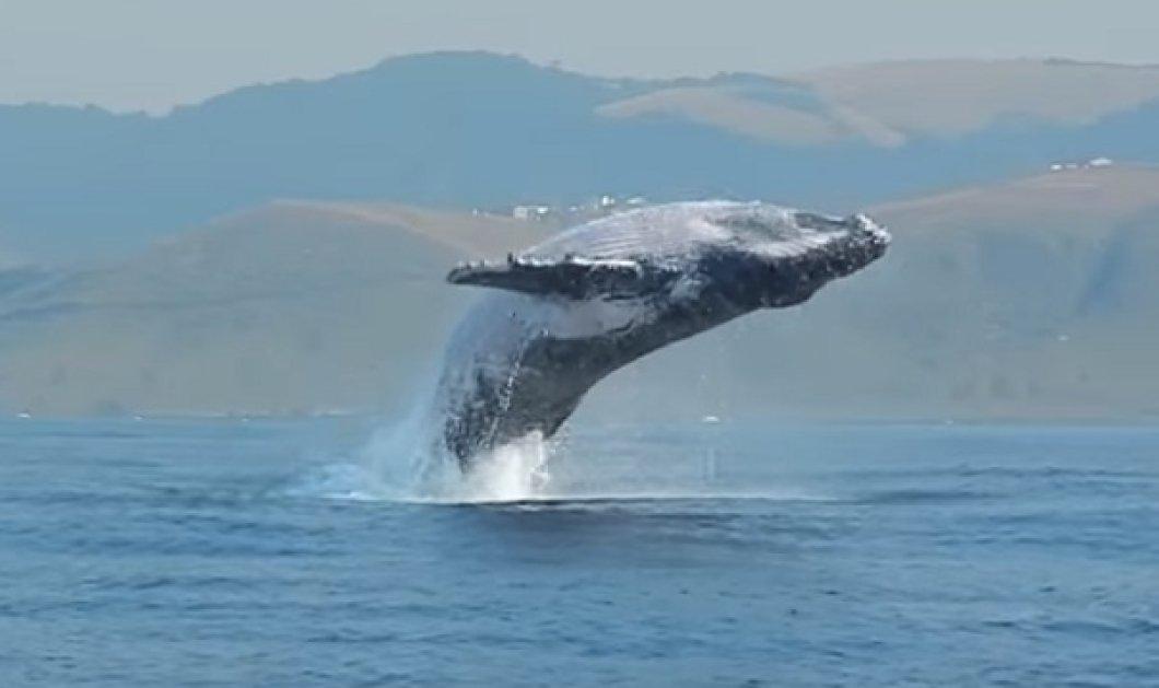 """Ζυγίζει 40 τόνους & """"πετάει"""" ολόκληρη έξω από το νερό: Η φάλαινα γίγας και το θεαματικό της βίντεο  - Κυρίως Φωτογραφία - Gallery - Video"""