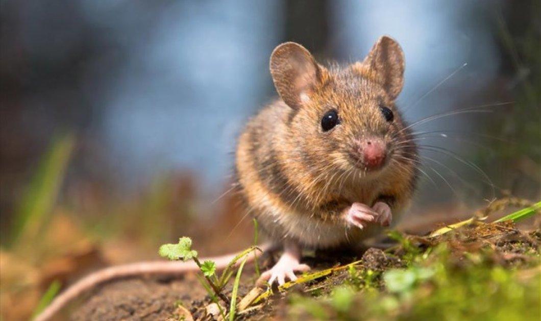 Εγκεφαλικός διακόπτης μετατρέπει δειλά ποντίκια σε γενναία κυρίαρχα αρσενικά -  Πως το πέτυχαν Κινέζοι επιστήμονες - Κυρίως Φωτογραφία - Gallery - Video
