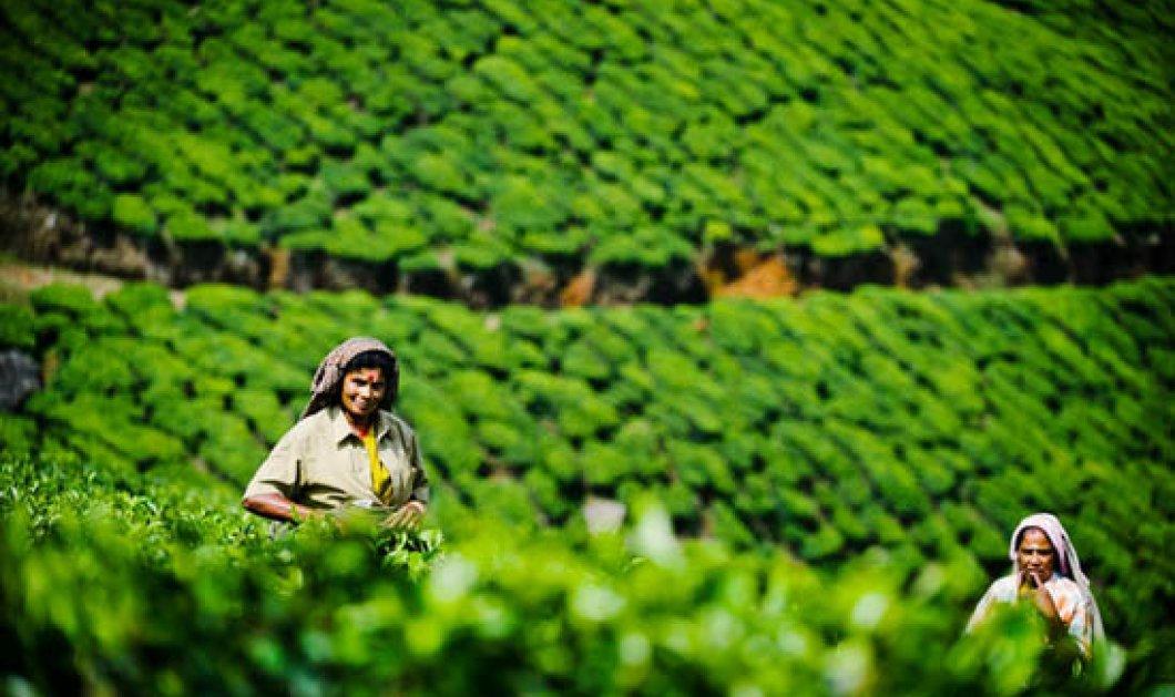 Oι Ινδές παρθένες που συλλέγουν άνθη για το καλύτερο τσάι στον κόσμο (ΦΩΤΟ) - Κυρίως Φωτογραφία - Gallery - Video