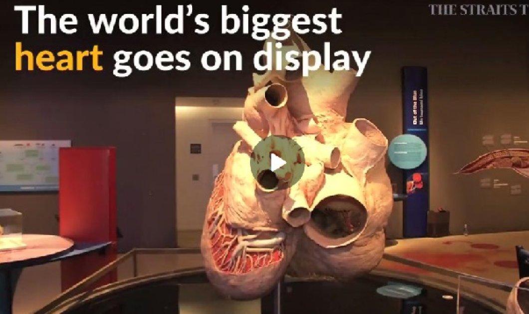 1,5 μέτρα επί 1,2 μέτρα & βάρος 181 κιλά: Η μεγαλύτερη καρδιά στον κόσμο ανήκει σε φάλαινα! (BINTEO) - Κυρίως Φωτογραφία - Gallery - Video