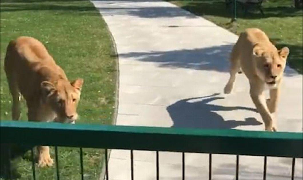 Βίντεο - Η αγαπησιάρικη αντίδραση των λιονταριών μόλις βλέπουν τη γυναίκα που τα μεγάλωσε 7 χρόνια αργότερα - Κυρίως Φωτογραφία - Gallery - Video