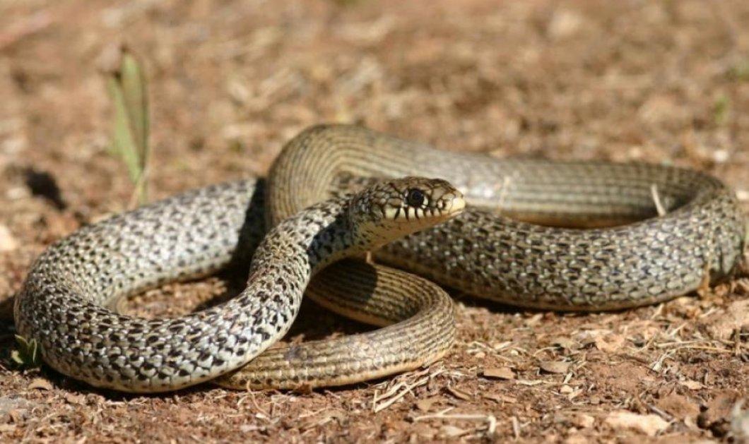 Βίντεο: To φίδι πήγε να.... κολυμπήσει στα Χανιά & έγινε πανικός στην παραλία - Κυρίως Φωτογραφία - Gallery - Video