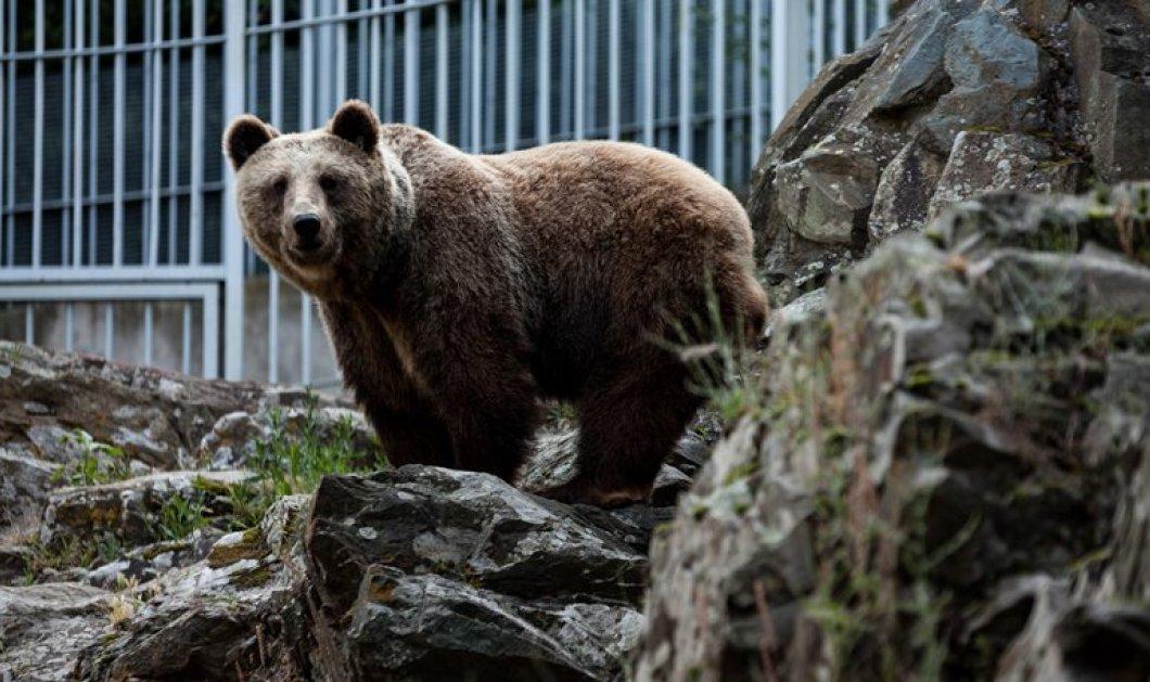 Αρκούδα επιτέθηκε σε ηλικιωμένο κυνηγό στη Φλώρινα - πετάχτηκε μέσα από τα καλαμπόκια & τον τραυμάτισε - Κυρίως Φωτογραφία - Gallery - Video