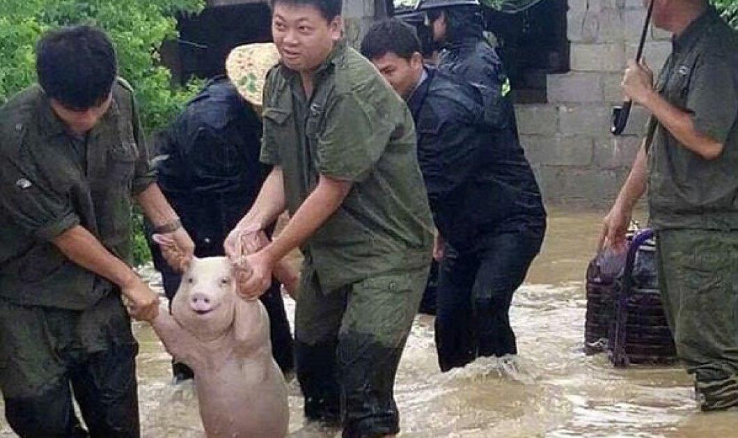 Χαμογελούν και τα γουρούνια όταν είναι ευχαριστημένα:  Όπως αυτό που διασώθηκε στις πλημμύρες  - Κυρίως Φωτογραφία - Gallery - Video
