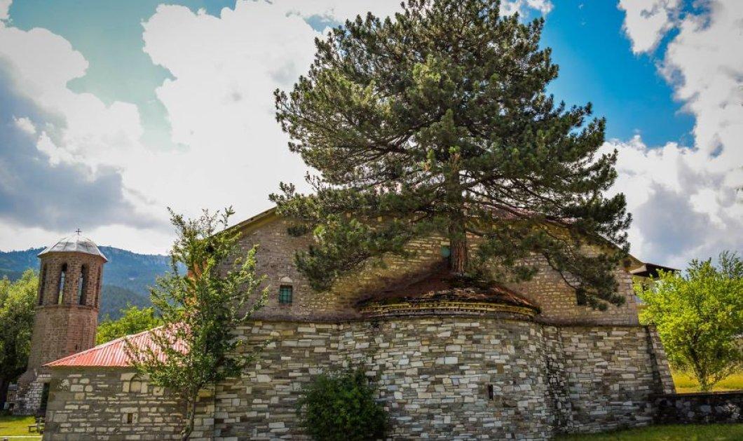 Αυτό το πεύκο μεγαλώνει μέσα στο ιερό της Παναγίας στην Σαμαρίνα εδώ και 100 χρόνια! Φωτό – βίντεο - Κυρίως Φωτογραφία - Gallery - Video