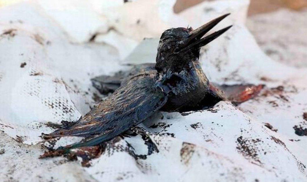 Σαρωνικός ώρα μηδέν: Τα θαλασσοπούλια πεθαίνουν από την ασφυξία του μαζούτ & οι θαλάσσιοι οργανισμοί καίγονται  - Κυρίως Φωτογραφία - Gallery - Video
