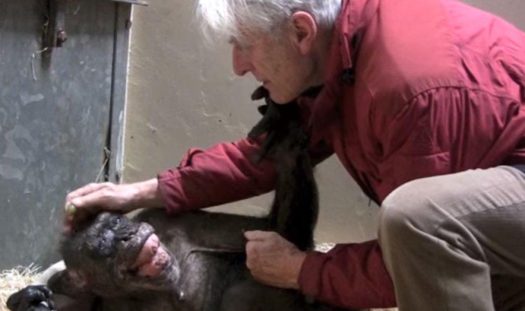 Βίντεο: Ετοιμοθάνατος χιμπατζής χαίρεται βλέποντας έναν παλιό του φίλο - Κυρίως Φωτογραφία - Gallery - Video