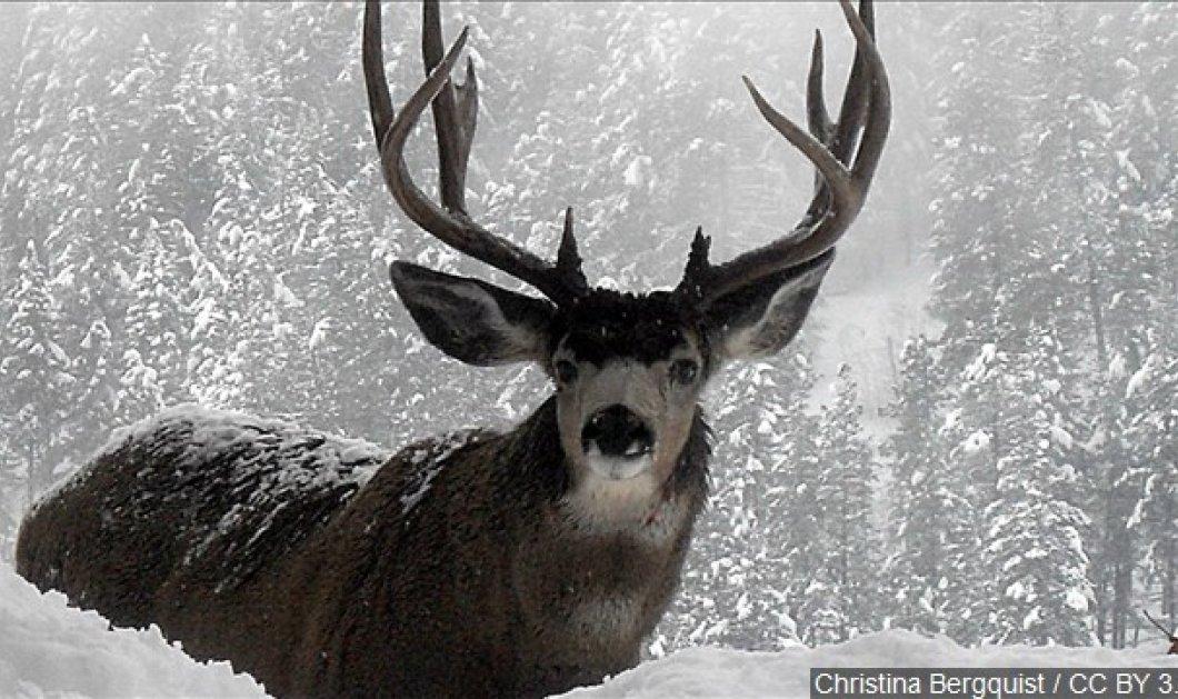 Γενοκτονία τάρανδων & ελαφιών : Σκοτώνουν εκατοντάδες όμορφα ζώα λόγω σπάνιας ασθένειας στη. Νορβηγία (ΦΩΤΟ- ΒΙΝΤΕΟ) - Κυρίως Φωτογραφία - Gallery - Video