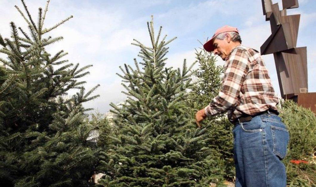 Πόσο θα κοστίσει φέτος το χριστουγεννιάτικο έλατο  - Κυρίως Φωτογραφία - Gallery - Video