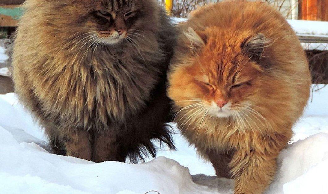 Είναι οι πιο παχουλές & χνουδωτές γάτες που έχετε δει - Ζουν σε φάρμα στην στην Σιβηρία   - Κυρίως Φωτογραφία - Gallery - Video