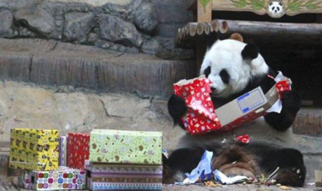 Photo of the day: Όταν ένα αρκουδάκι πάντα ανοίγει τα δώρα που του έφερε ο Άη Βασίλης! - Κυρίως Φωτογραφία - Gallery - Video
