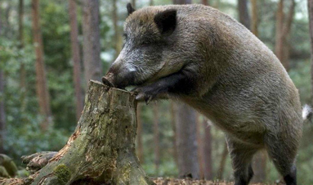 Νόμισε ότι το ζώο είναι νεκρό - Σταμάτησε για να βοηθήσει έναν κυνηγό και του επιτέθηκε αγριογούρουνο... - Κυρίως Φωτογραφία - Gallery - Video