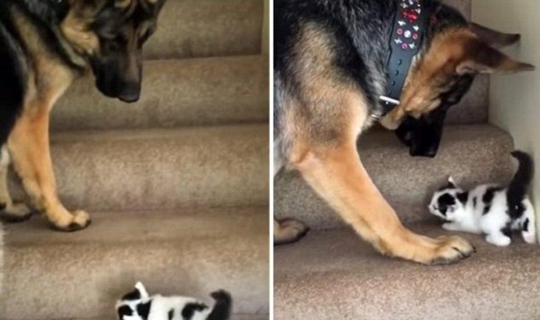Smile βίντεο: Γερμανικός ποιμενικός ανεβάζει μικροσκοπικό γατί στις σκάλες - Η συνεργασία που σαρώνει τα views - Κυρίως Φωτογραφία - Gallery - Video