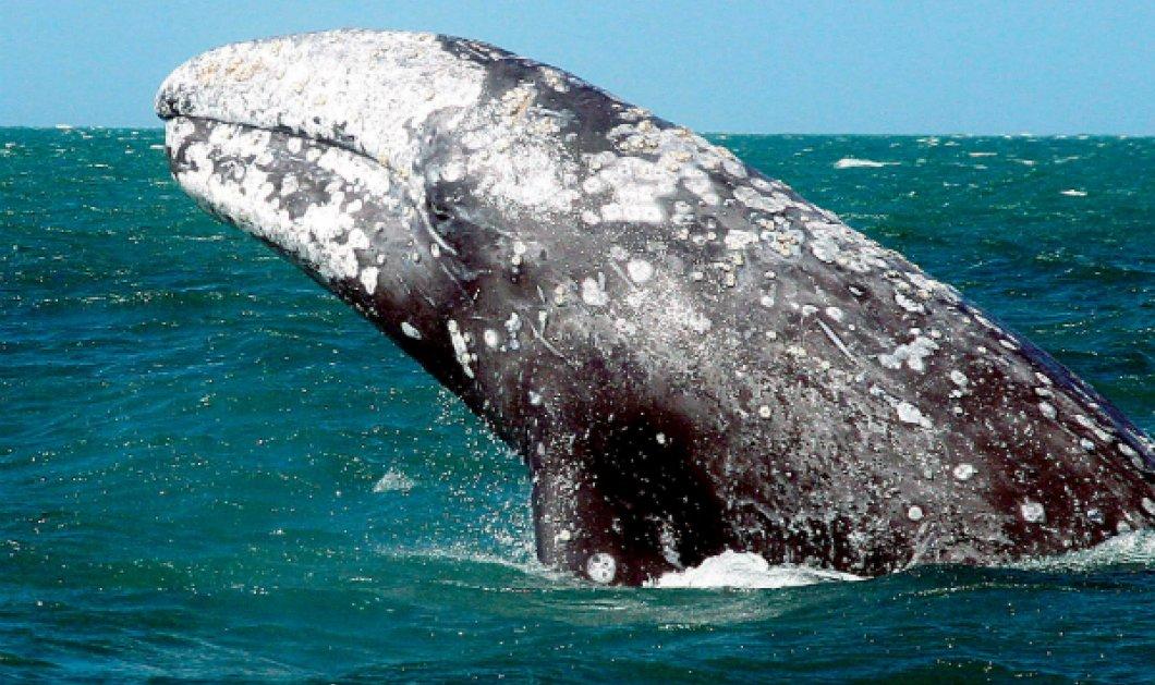 Υπέροχο & σπάνιο φυσικό θέαμα! Στις ακτές του Απαλού ξεβράστηκε φάλαινα μήκους έξι μέτρων (ΒΙΝΤΕΟ) - Κυρίως Φωτογραφία - Gallery - Video