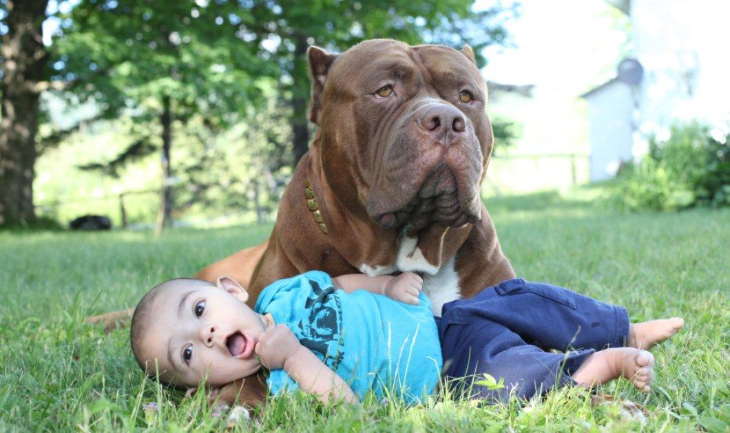 Βίντεο - Φώτο: Πιτ μπουλ - γίγας ζυγίζει 80 κιλά! Είναι φύλακας αλλά λατρεύει το παιδάκι του αφεντικού   - Κυρίως Φωτογραφία - Gallery - Video