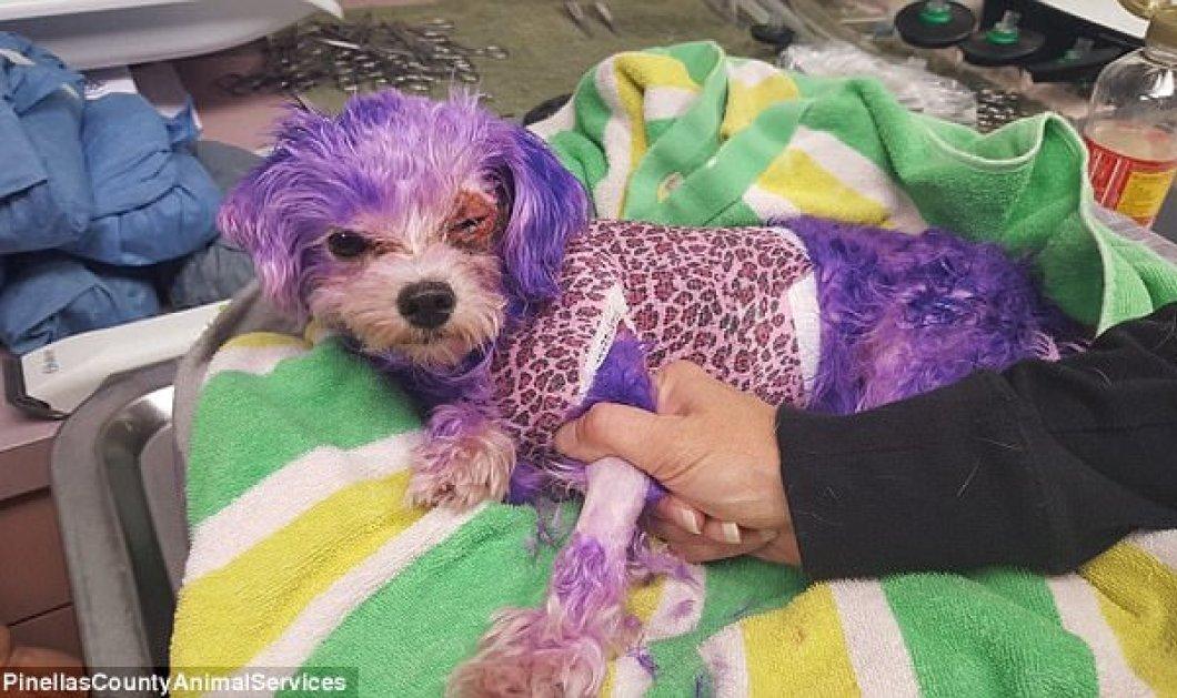Πόσο ακραίο !!! Η σκυλίτσα έφτασε στον θάνατο γιατί το αφεντικό έβαψε μωβ τα μαλάκια της (ΦΩΤΟ) - Κυρίως Φωτογραφία - Gallery - Video