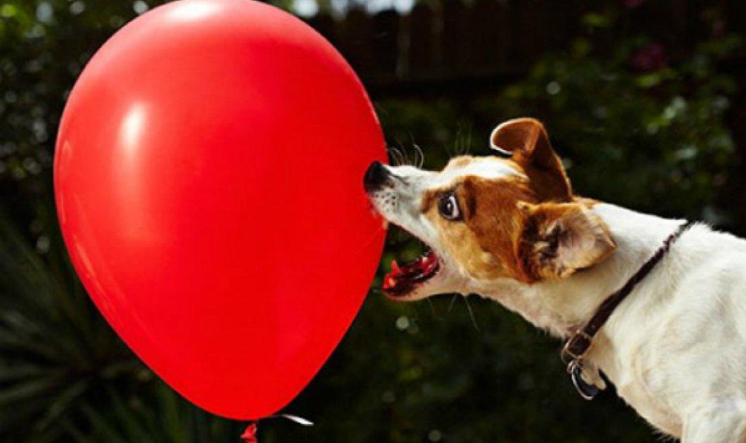 Smile βίντεο: Απίστευτος σκυλάκος με full ενέργεια σκάει 100 μπαλόνια σε 39 δευτερόλεπτα! - Κυρίως Φωτογραφία - Gallery - Video