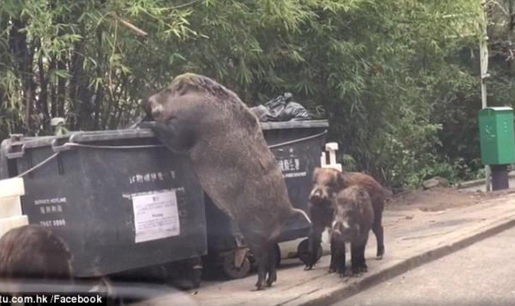 Αγριογούρουνο ψάχνει για φαγητό σε κάδο σκουπιδιών δίπλα από σχολείο στο Χονγκ Κονγκ (ΒΙΝΤΕΟ)  - Κυρίως Φωτογραφία - Gallery - Video