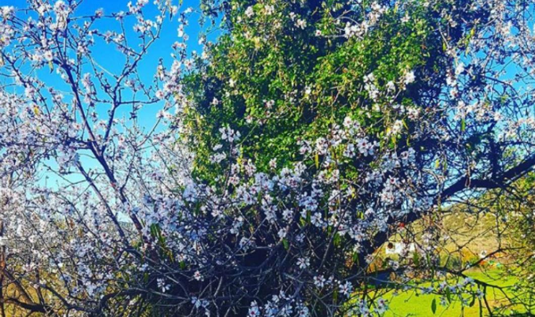 Η αμυγδαλιά της πατρίδας μου, της Ερμιόνης είναι φυσικά η καλύτερη - Δείτε την! (ΦΩΤΟ) - Κυρίως Φωτογραφία - Gallery - Video