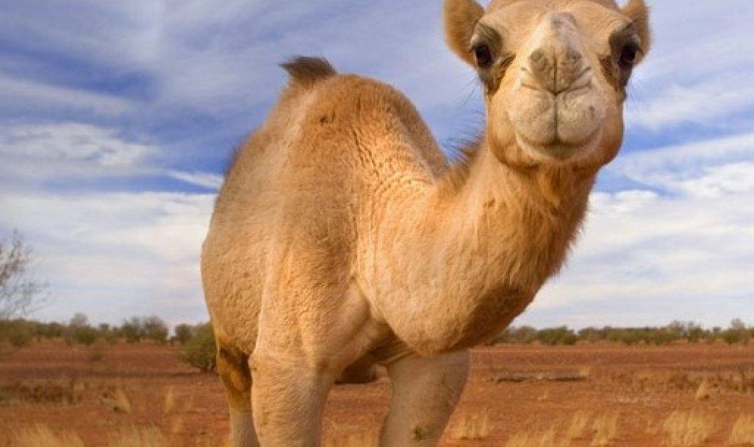 Camellicious: Μόλις κυκλοφόρησε το πρώτο βρεφικό γάλα καμήλας  - Κυρίως Φωτογραφία - Gallery - Video