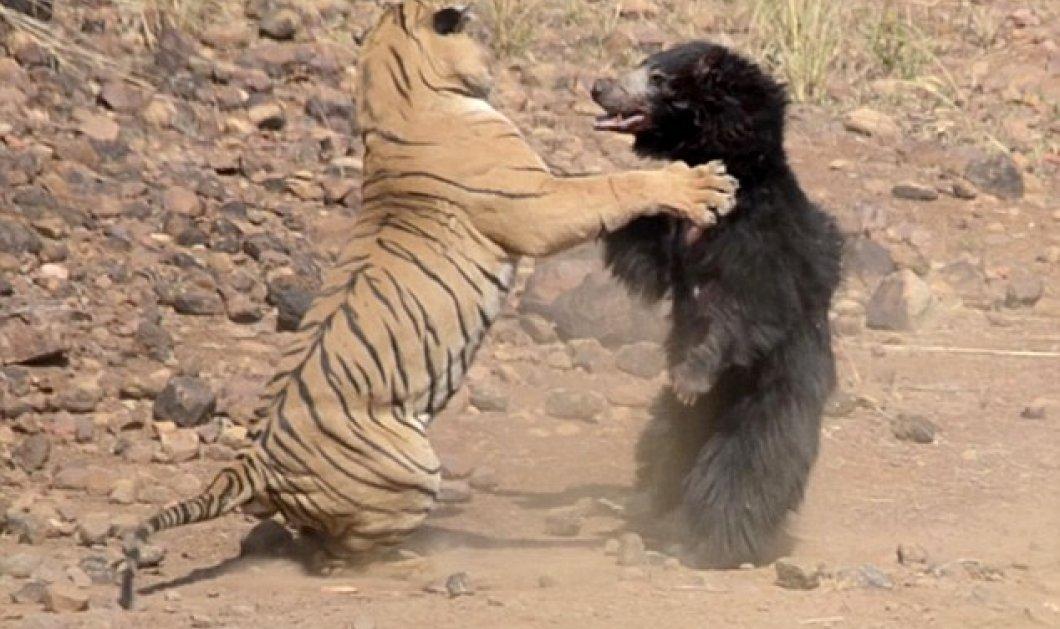 «Επική» μάχη ανάμεσα σε τίγρη και αρκούδα σε εθνικό πάρκο της Ινδίας - (ΦΩΤΟ - ΒΙΝΤΕΟ) - Κυρίως Φωτογραφία - Gallery - Video