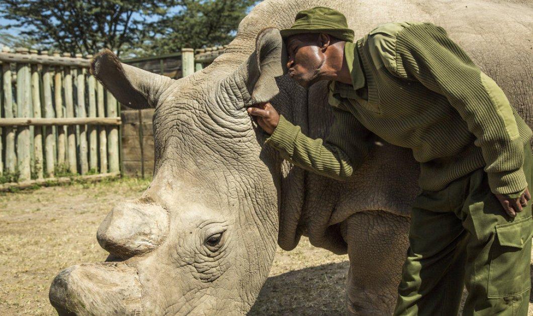 Ο Sudan είναι ο τελευταίος αρσενικός λευκός ρινόκερος του πλανήτη -Απολαύστε τον σε ένα μοναδικό βίντεο   - Κυρίως Φωτογραφία - Gallery - Video