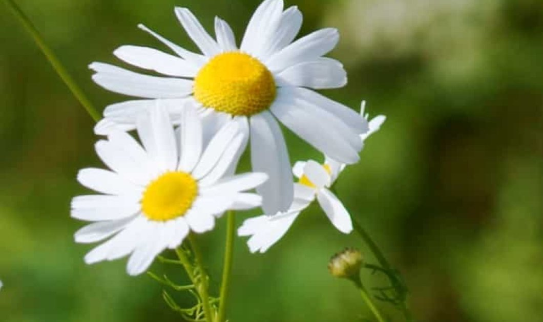 Wikifarmer & eirinika σας παρουσιάζουν: Να πως καλλιεργούμε Χαμομήλι στην αυλή μας - Κυρίως Φωτογραφία - Gallery - Video