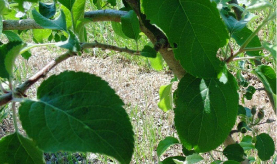 Wikifarmer - eirinika: Σήμερα θα δούμε την μηλιά σε γλάστρα - Όλα όσα πρέπει να γνωρίζετε - Κυρίως Φωτογραφία - Gallery - Video
