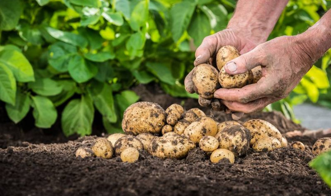 Θέλετε να φυτέψετε πατάτες στην αυλή σας; Μήπως να βγάλετε χρήματα από την καλλιέργεια; Το Wikifarmer & το eirinika σας απαντούν - Κυρίως Φωτογραφία - Gallery - Video