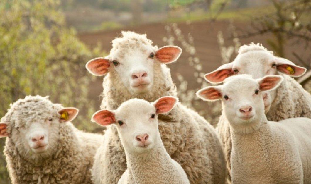 Μπορείτε να κερδίσετε χρήματα εκτρέφοντας πρόβατα; Το Wikifarmer & το eirinika σας απαντούν - Κυρίως Φωτογραφία - Gallery - Video