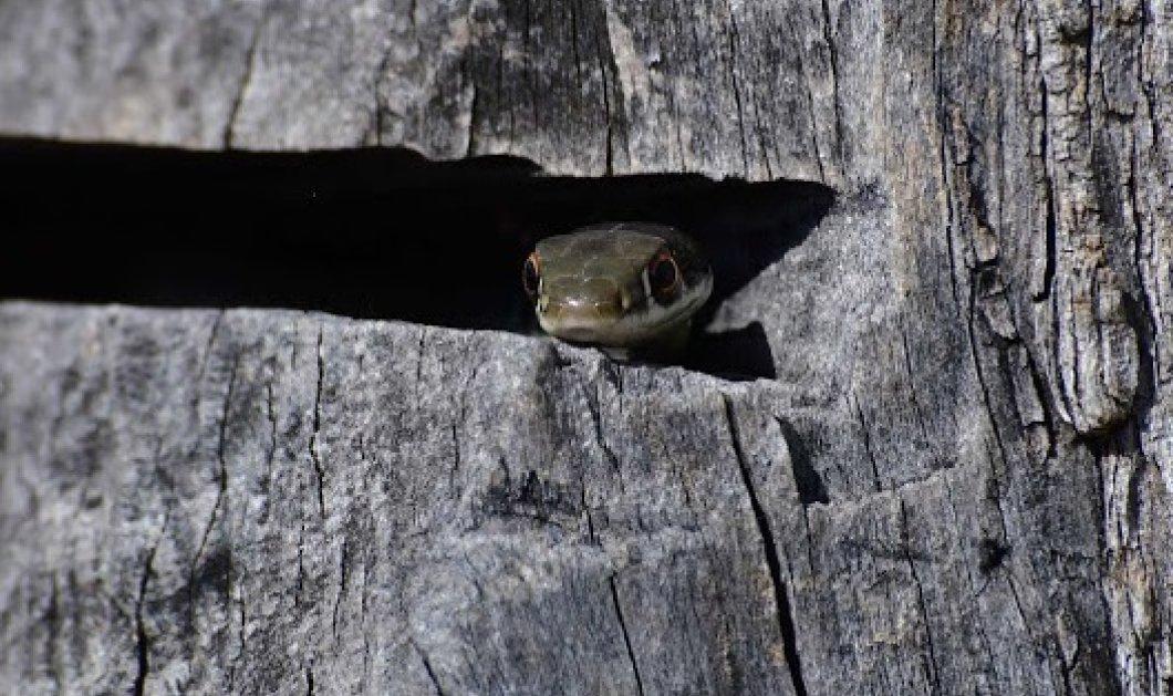 Ναύπλιο: Αγρότης εντόπισε φίδι σαΐτα- Το πιο γρήγορο είδος στην Ελλάδα (ΦΩΤΟ-ΒΙΝΤΕΟ) - Κυρίως Φωτογραφία - Gallery - Video
