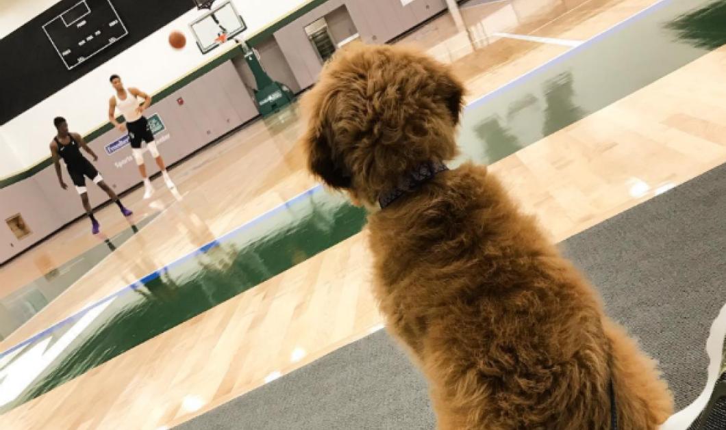 Κι όμως, οι μεγάλοι άντρες έχουν τις αδυναμίες τους! Ιδού η σκυλίτσα που έκλεψε την καρδιά του Αντετοκούνμπο (ΦΩΤΟ - ΒΙΝΤΕΟ) - Κυρίως Φωτογραφία - Gallery - Video