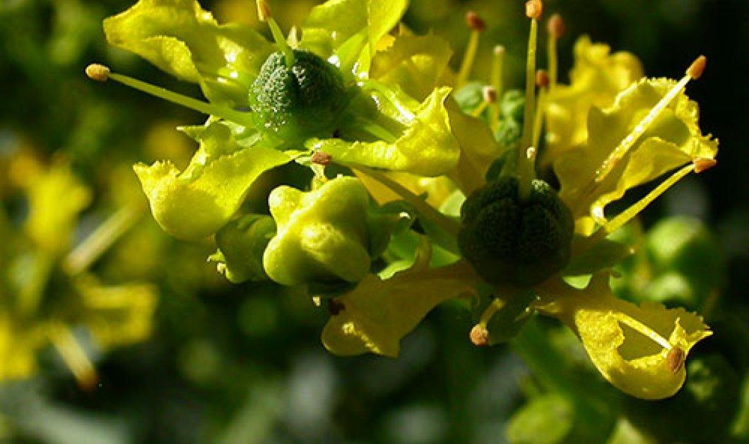 Απήγανος: Ένα φυτό που διώχνει από το χώρο σας την γρουσουζιά και την αρνητική ενέργεια  - Κυρίως Φωτογραφία - Gallery - Video