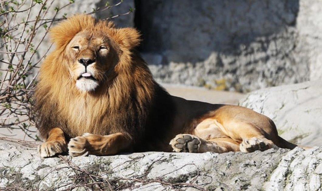Σαν εφιάλτης η απόδραση από ζωολογικό κήπο στη Γερμανία - Λιοντάρια, τίγρεις και πούμα βγήκαν στους δρόμους - Κυρίως Φωτογραφία - Gallery - Video