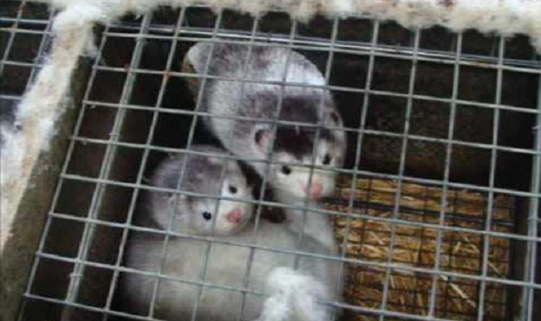 Ο βρώμικος & αποκρουστικός κόσμος της γούνας- 33.000 γουνοφόρα μινκ αλληλοσπαράχθηκαν λόγω ασιτίας έγκλειστα σε κλουβιά - Κυρίως Φωτογραφία - Gallery - Video
