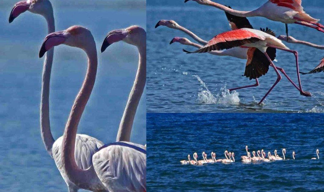 Φωτό- 22 υπέροχα ροζ φλαμίνγκο ομόρφυναν το Ναύπλιο- Η ξεκούραση στα μισά της μετανάστευσης... - Κυρίως Φωτογραφία - Gallery - Video